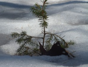 Natural Pictures - Just Starting Out - Baby Evergreen tree in Snow